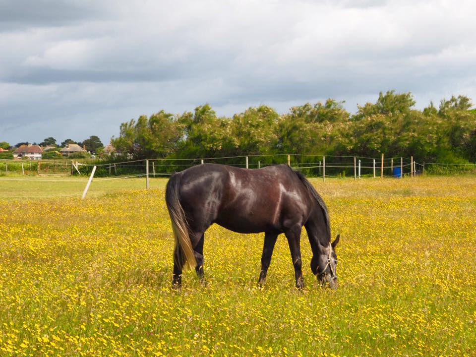 horse, field, flowers, nature, East Wittering, England, travel, europe, wanderlust, summer, vacation